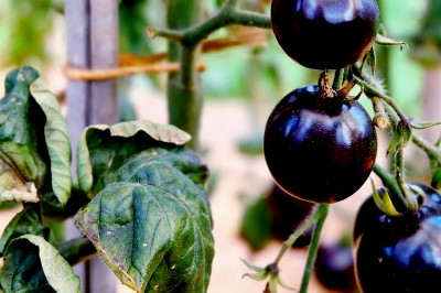 Fekete paradicsom ára